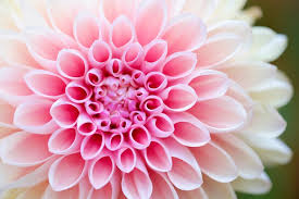 pictures of the flower.  The Closeup Photography Of Pink Petaled Flower And Pictures Of The Flower M