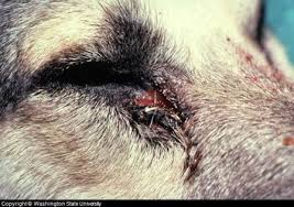 Dog Eye Infection Symptoms, Pictures, and Treatment Advice