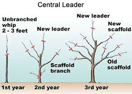 Fruit Tree Pruning  Itu0027s Easy Once You Know How  Shades Of Fruit Tree Shapes