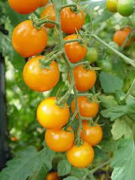 Best Tomato Plants Chileplants Com