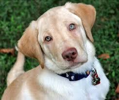 yellow lab with blue eyes.  Eyes Milo A Labrador Retriever Puppy Inside Yellow Lab With Blue Eyes