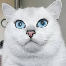 most beautiful eyes cat coby british shorthair 25