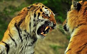 beautiful wild animals wallpapers. Wonderful Wild Wild Animals Wallpaper Tiger On Beautiful Wallpapers L