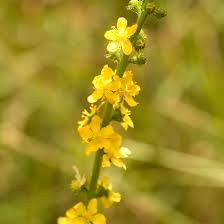 Image result for agrimony