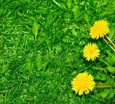 grass and flowers background. Modren Flowers Top View Of Green Grass And Dandelion Flowers Background  Stock Photo  Colourbox In Grass And Flowers Background E