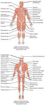 You maintain the position of the core while moving the other parts of the body. List Of Skeletal Muscles Of The Human Body Wikipedia