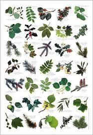 Tree Leaf Identification Chart British Tree Leaves Identification Chart Nature Poster