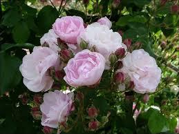 Super Fragrant Roses U2013 RoseFarmcom InternationalFragrant Rose Plants