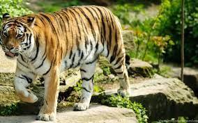 Tiger desktop wallpaper.jpg Desktop ...