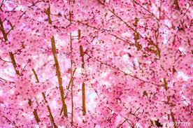 Blooming Sakura Cherry Blossom Background In Spring Japan