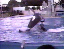 killer whale attacks on humans. Contemporary Whale Orky 2 Lands On Trainer John Sillick In November 1987 Throughout Killer Whale Attacks On Humans