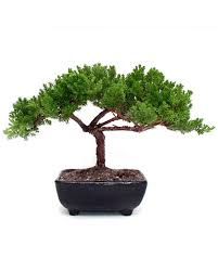 office bonsai tree. small juniper bonsai office tree s