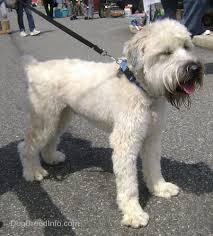 Wheaten Terrier Size Chart Soft Coated Wheaten Terrier Dog Breed Information And Pictures