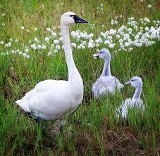 swan family photograph by kristina kruchowski swans photograph swan family by kristina kruchowski