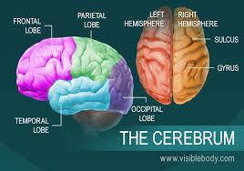the seat of consciousness high intellectual functions occur in the cerebrum