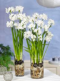 Paper White Flower Bulb Paperwhite Bulbs Indoor Narcissus Dutchgrown
