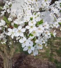 Problems With Plum Trees Common Diseases Of Plum Trees  Plum Plum Tree Not Producing Fruit
