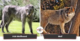 as one of the largest dog breeds the wolfhound stands at approximately 32 inches from the shoulder which is the same as a gray wolf