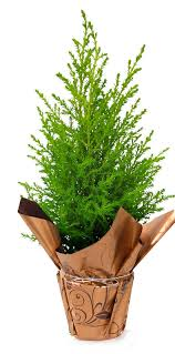 Decorative Indoor Trees Holiday Trees Indoor Potted Plants European Pines Rocket Farms