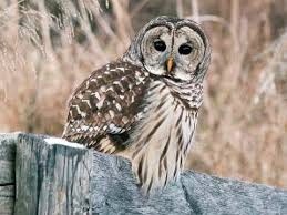 plucked owl. Wonderful Owl Barred Owl For Plucked