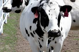 Transgenic Animals Are These Genetically Engineered Cows The Future Of Medicine