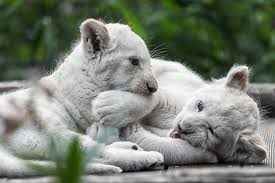 white lion HD wallpapers, backgrounds