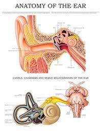 Anatomy Of The Ear E Chart Quick Reference Guide Ebook Hc