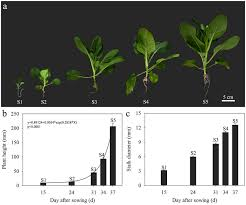 cabbage plant stages. Beautiful Cabbage Stages Of Stalk Development In Flowering Chinese Cabbage A Plant  Morphology At Different Stages S1 To S5 B Height Stages  In Cabbage G