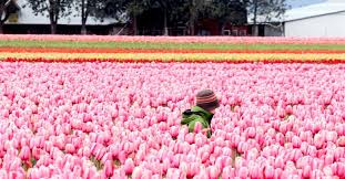 bloomin fun a user s guide to the skagit valley tulip festival the seattle times