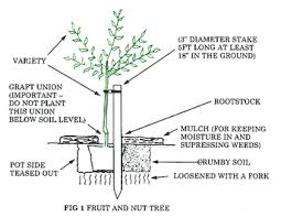 Image Result For Apple Tree Diagram  Diagrams  PinterestPlanting A Fruit Tree