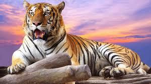 african tiger wallpaper hd
