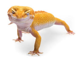 Caring For Leopard Geckos Timberline