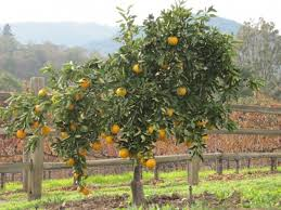 Citrus  Maas NurserySmall Orange Fruit On Tree