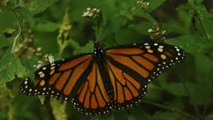 q essay the butterfly effect on climate change activism make  each year millions of monarch butterflies make a 3 219 km from to central s