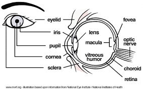 Small Picture A Guide to the Human Eye Humanatomy 5 Read Fiction Non Fiction