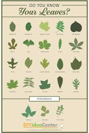 Leaf Identification Guide Infographic Leaf