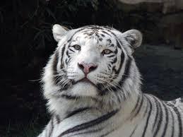 white tiger wallpaper free download. Contemporary Download Free Download White Tiger Picture Throughout Wallpaper