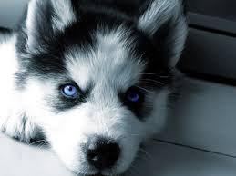cute husky puppies with blue eyes wallpaper. Interesting With Siberian Huskies Images My Husky HD Wallpaper And Background Photos Inside Cute Husky Puppies With Blue Eyes Wallpaper U
