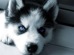 baby siberian husky with blue eyes. Wonderful Husky Siberian Huskies Images My Husky HD Wallpaper And Background Photos With Baby Husky Blue Eyes