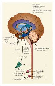 The Hypothalamic Pituitary Adrenal Axis And Immune Mediated