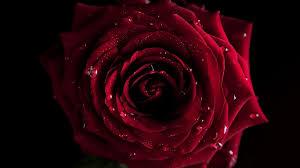 1366x768 wallpaper red flowers macro rose