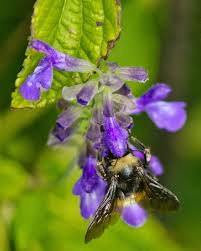 migration celebration  bee in mint photographer peggy romfh location gcbo lake jackson tx category plant life of texas mid coast award first place