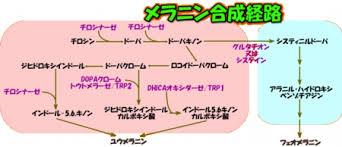 「メラニン 生成経路」の画像検索結果