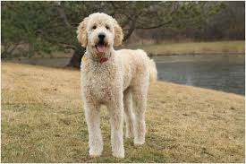 Size Of Goldendoodles Goldenacresdogs Com