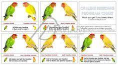 Peach Faced Lovebird Color Chart African Love Bird Site
