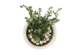 order plants online. Buy Thyme Plants , White Pots And Seeds In Delhi NCR By The Best Online Nursery Order O