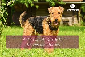 Airedale Weight Chart A Pet Parents Guide To The Airedale Terrier Certapet