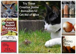 11 natural home remes to get rid of mice