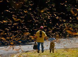 Resultado de imagen para imagenes de mariposas monarcas michoacan