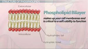 a phospholipid structure functions